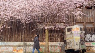 ベルリン 桜