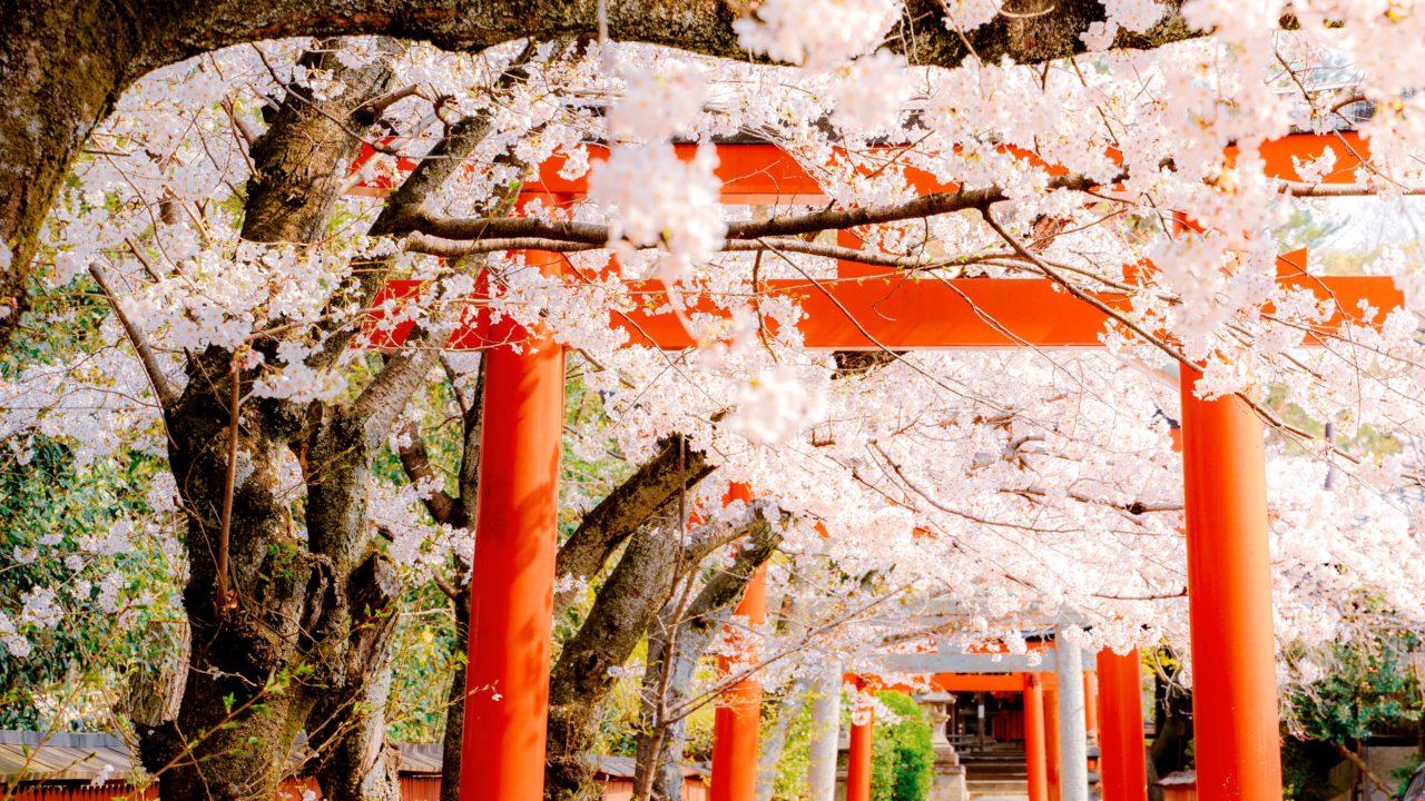 京都 桜 竹中稲荷神社
